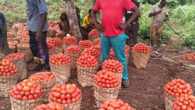 Photo of Tomato farmers record huge financial losses due to COVID-19
